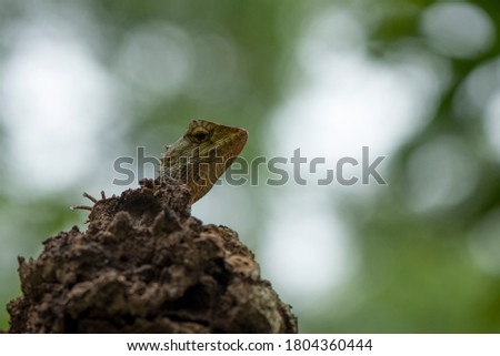 The oriental garden lizard, eastern garden lizard, bloodsucker or changeable lizard is an agamid lizard found widely distributed in indo-Malaya.  #1804360444