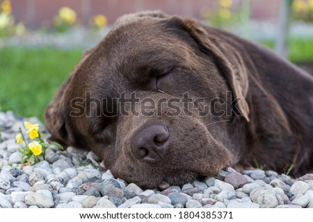 A labrador dog sleeping on small rocks. Picture is taken in a households front door step, where the dog is taking a nape on small rocks. After walk dog is taking sleep.