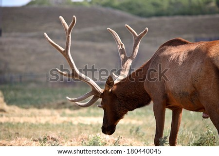 Farm elk with large antlers in scenic Saskatchewan