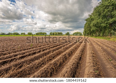 Potato ridges on a heavily overcast day in summer. The foliage is dehydrated and the harvest is imminent. Between the ridges, acorns have fallen prematurely from the trees due to the recent heat wave. Royalty-Free Stock Photo #1804459162