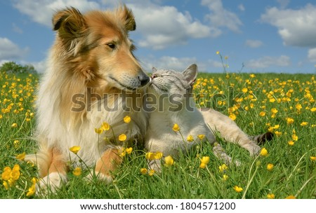 A very happy couple a Collie dog and a white tabby cat are sitting in a field among yellow buttercups Royalty-Free Stock Photo #1804571200