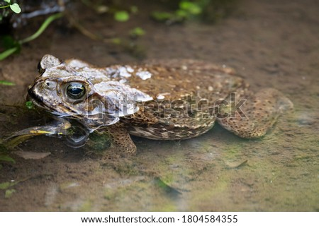 The cane toad (Rhinella marina), also known as the giant neotropical toad or marine toad, is a large, terrestrial true toad native to South and mainland Central America.