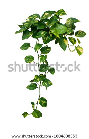 Heart shaped green variegated leave hanging vine plant bush of devil's ivy or golden pothos (Epipremnum aureum) popular foliage tropical houseplant isolated on white with clipping path. #1804608553