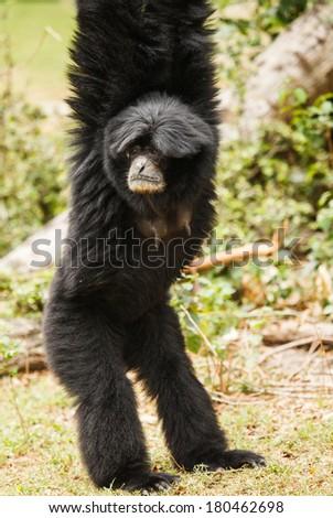gibbon is endenger species in Thailand #180462698