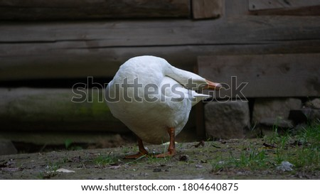Picture of a white goose taken at a farm