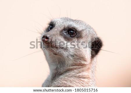 Meerkat Close Up Head Portrait