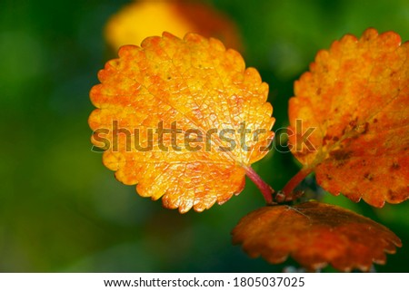 Yellow autumn leaves of dwarf birch. Close up, blurred background. Typical plant of northern nature. Beautiful autumn picture, background, wallpaper.