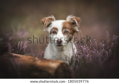 A white female mixed breed dog sitting among flowering heather bushes against the background of the autumn forest and looking directly into the camera Royalty-Free Stock Photo #1805039776