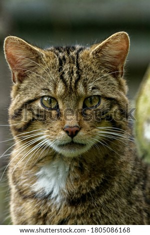 Scottish Wildcat (Felis silvestris) Juvenile staring intently at camera. Portrait  Royalty-Free Stock Photo #1805086168