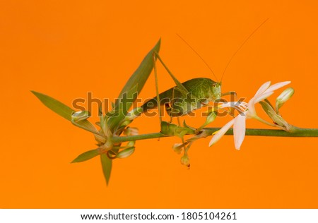Photograph of a green grasshopper, green locust, scientific name Tettigonia viridissima on a branch with a flower in orange background.