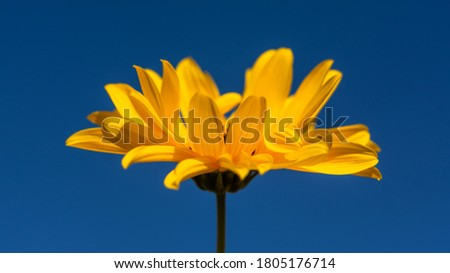 Jerusalem artichoke flower close-up against the blue sky. Postcard layout with a macro flower in the center. Extended composition. Flower banner.