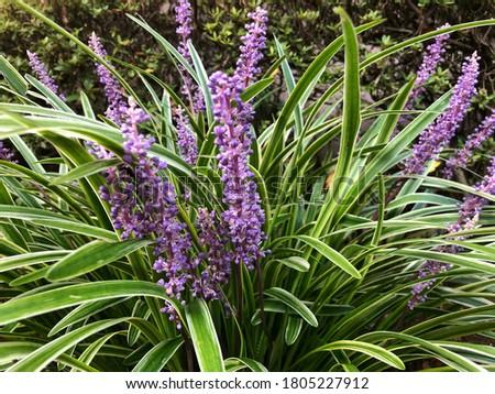 Big blue lilyturf or monkey grass in Outdoor garden  #1805227912
