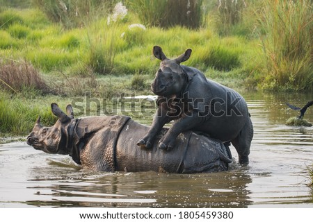 The baby rhino is playing with mother in the water whole. The rhinos like to spent long time in the water during hot season. in summer it is more easy to see them. i took this picture at photo tour.