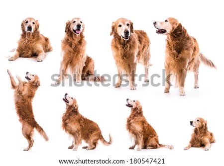 photo collage golden retriever in the studio isolated on white background #180547421