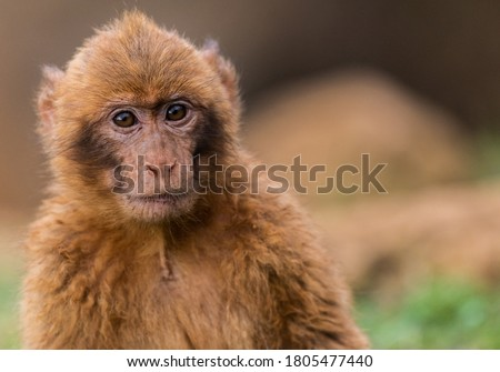 Portrait of baby baboon  at the Natural park of Cabarceno, Cantabria Spain.