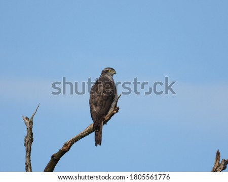Northern Goshawk Picture clicked in August 2020
