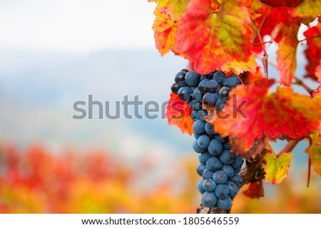 Ripe black grapes on the vine. Selective focus. Douro river valley in Portugal. Autumn nature background Royalty-Free Stock Photo #1805646559