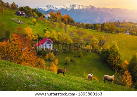 Idyllic autumn countryside landscape with grazing sheeps and snowy mountains in background. Colorful deciduous trees on the hills at sunset, Magura village near Brasov, Transylvania, Romania, Europe Royalty-Free Stock Photo #1805880163