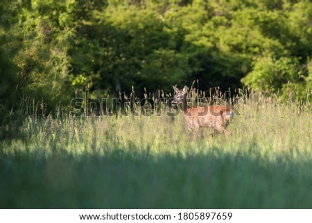 Roe deer (Capreolus capreolus). Deer on a green meadow in the background forest in the morning sun rays. Wildlife scene with deer.