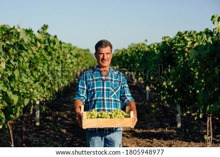 vineyard farmer harvesting grapes in vineyard during wine harvest season in autumn. The harvesting. Farm winery. Grape Picking. man winemaker and vineyard owner. Family small business. Rural lifestyle #1805948977