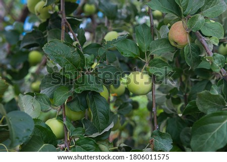 homemade apples ripen on an apple tree branch. Apple tree with small green apples. Apple tree branch with apples #1806011575