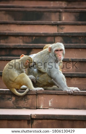 Monkeys checking for fleas and louse in the park