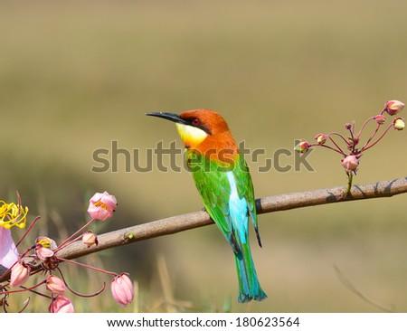 Beautiful Bee eater Bird (Chestnut-headed Bee-eater, Merops leschenaulti) #180623564