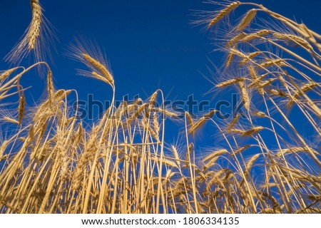 Ripe ears of wheat. Wheat field. Blue sky with clouds. Summer harvest of ripe wheat. Golden ears. Agriculture. The wheat is ripe. #1806334135