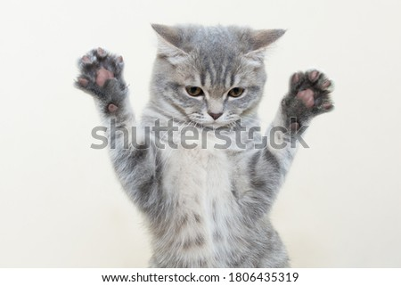 a funny serious gray kitten stands with raised paws and outstretched claws on a light background, does not look into the frame. Photo close-up, cropped, horizontal