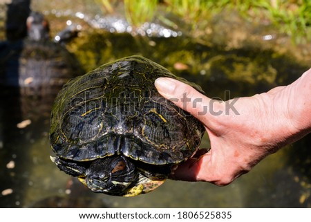 Photo picture Common turtle Slider Trachemys scripta animal reptile amphibian