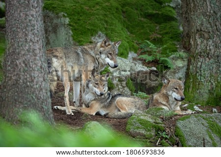 Eurasian wolf, canis lupus lupus, hiding in the forest. Europe nature. Wolf lying down in nature. Successful predator in the forest. Pack with offspring. Rare predator in European nature Royalty-Free Stock Photo #1806593836