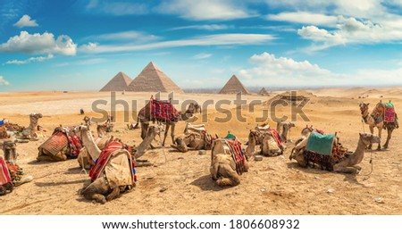 Camels in sandy desert near pyramids at day Royalty-Free Stock Photo #1806608932