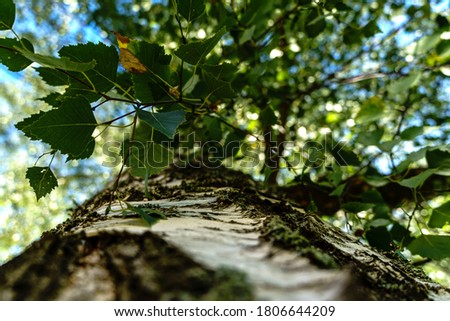 Looking up a birch tree, location Latvia. Picture taken on a summer day in august. Birch trees are on of the most beautiful tree in all the seasons. Location Valmiera.
