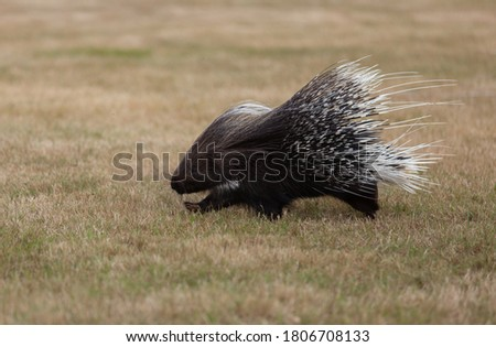Crested porcupine running across a meadow.