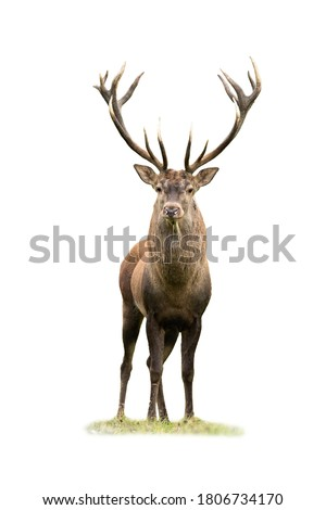 Curious red deer, cervus elaphus, stag looking into camera isolated on white background. Majestic male mammal with strong antlers standing on green grass from front view cut out on blank. Royalty-Free Stock Photo #1806734170