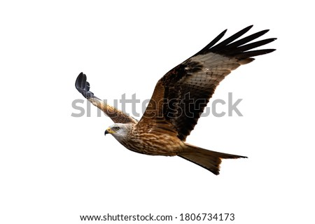 Majestic red kite, milvus milvus, in flight isolated on white background. Magnificent feathered predator with spread wings cut out on blank. Wild predator hovering in the air with empty backdrop. #1806734173