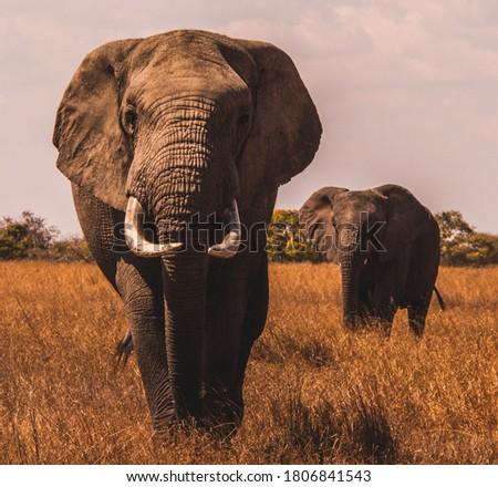 elephants found in tropical grassland #1806841543