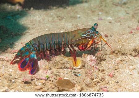 Peacock mantis shrimp, painted mantis shrimp, clown mantis shrimp or rainbow mantis shrimp (Odontodactylus scyllarus) Mindoro, Philippines Royalty-Free Stock Photo #1806874735