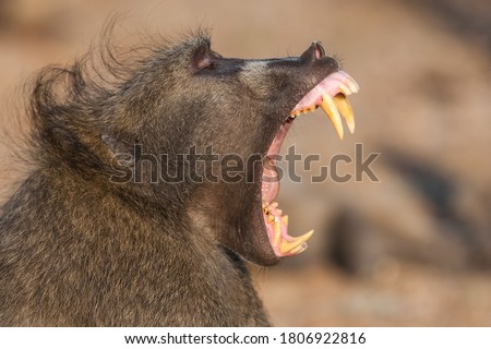 A Large Male Baboon showing off his impressive teeth and massive canines.