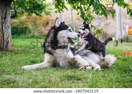 Siberian husky dog is playing with husky puppy on green grass. Two siberian husky are playing with each other in the park. Royalty-Free Stock Photo #1807043119