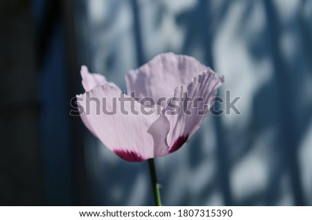 Bud of blooming pink poppy with closed poppy heads. Selective focus.