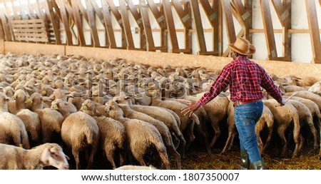 Rear on African American man in hat and red motley shirt walking in barn and leading sheep stock. Male farmer putting livestock in stable. Guy shepherd working with cattle. Back view. Royalty-Free Stock Photo #1807350007