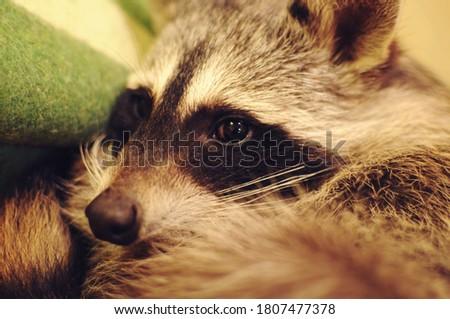 eyes of a sleeping raccoon