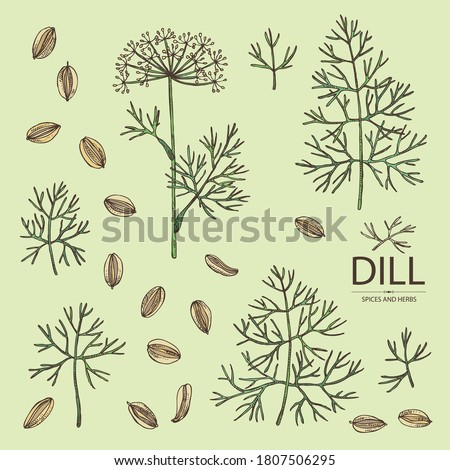 Collection of dill: dill leaves and seeds. Herbs and spices. Vector hand drawn illustration. Royalty-Free Stock Photo #1807506295