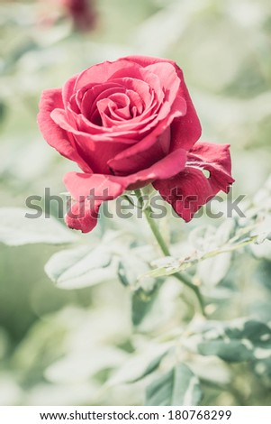 red rose in the garden #180768299