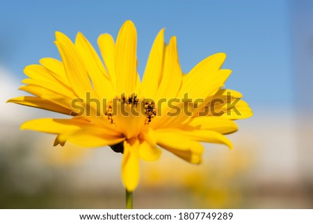 Jerusalem artichoke flower close-up against the blue sky. Floral natural horizontal background in soft light. Yellow summer flowers in selective focus. Bright sunny day.
