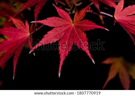 Red Maple Leaves on The Black Background at Night in Autumn or Fall, Natural Image