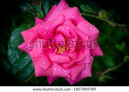 Pink rose with water drops on petals. Close-up. Top view. Vignetting