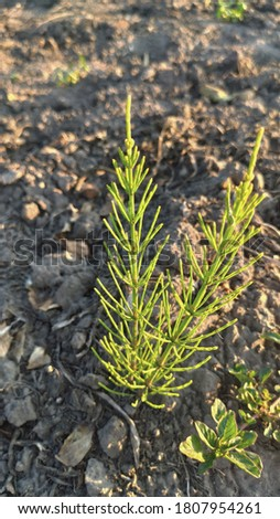 Herbal medicine. Photo of horsetail in the rays of sunset, weeds photo close up. Weed isolated.  Horsetail isolated. Green plant. Green herb. Couch isolated. Detail nature. Green background.