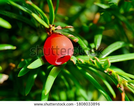 Red fruit of Taxus baccata.Taxus baccata is a species of evergreen tree in the conifer family,known as common yew, English yew or European yew.  #1808033896